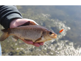 Ловля карася остается по прежнему самым популярным видом рыбалки